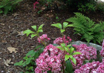 Mountain Laurel in the shade garden