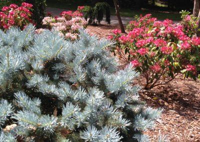 Blue globe spruce
