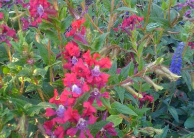 Angelonia-office administration-landscape contractors