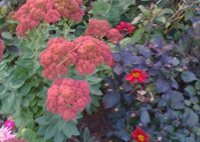 Autumn Joy Sedum-dahlias