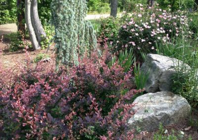 Barberry-roses-Atlas cedar-landscape design