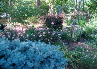 blue spruce-roses-barberry-landscape designer