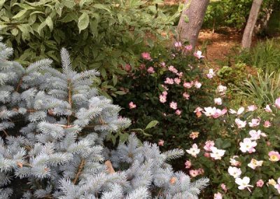 blue spruce-roses-red twig dogwood-administrative landscape services