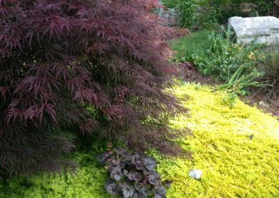 Japanese maple-creeping jenny-landscape designer