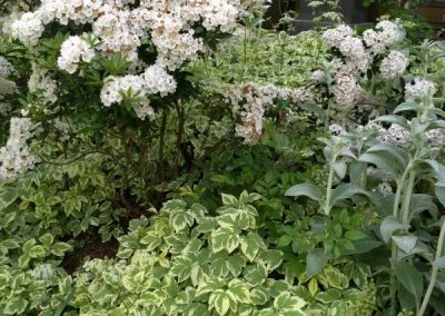 mountain laurel-lambs ear-groundcovers