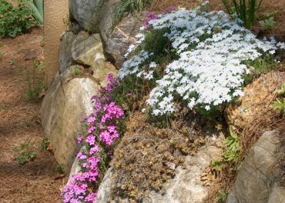 Phlox on a rock wall