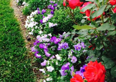 Pansies and roses in the front bed