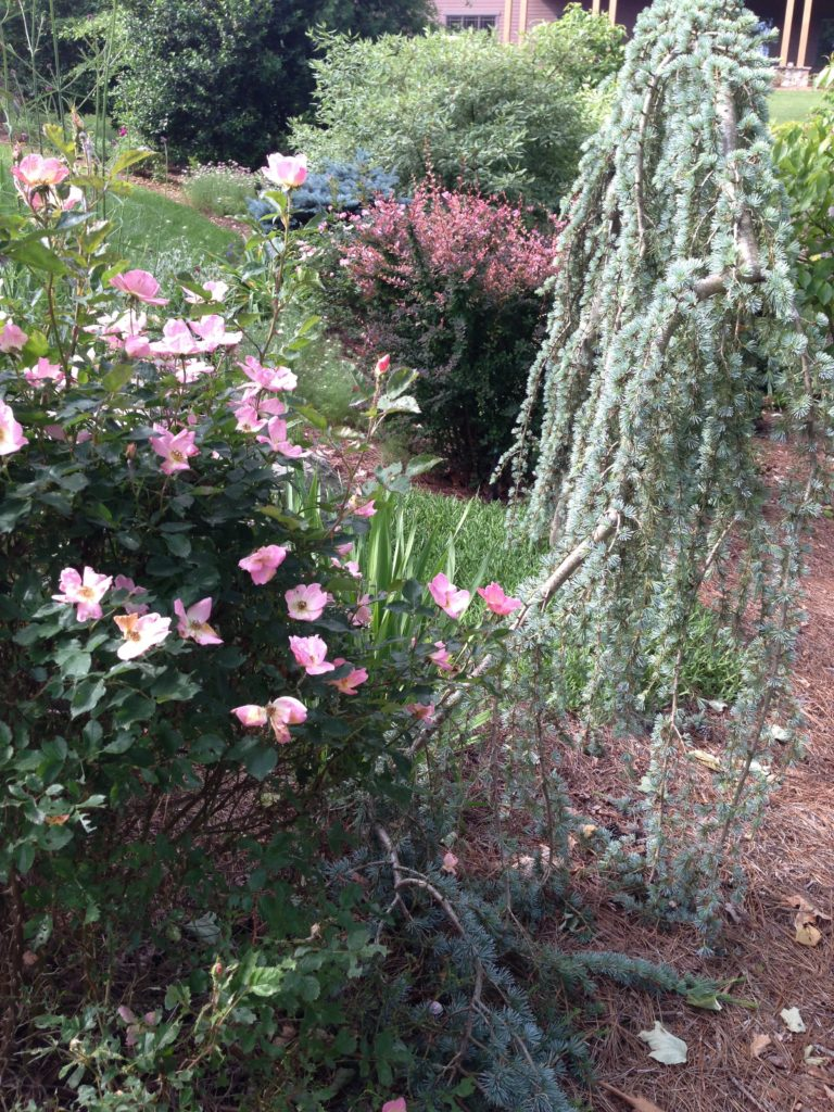 color combinations in the garden-Pink knockout roses-weeping atlas cedar-'rose glow' barberry-blue spruce-cornus alba