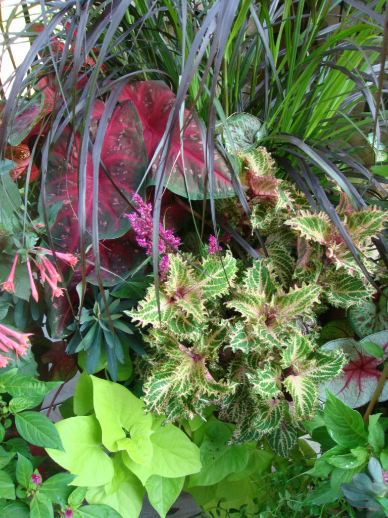 color combinations in the garden-coleus-caladium-sweet potato vine