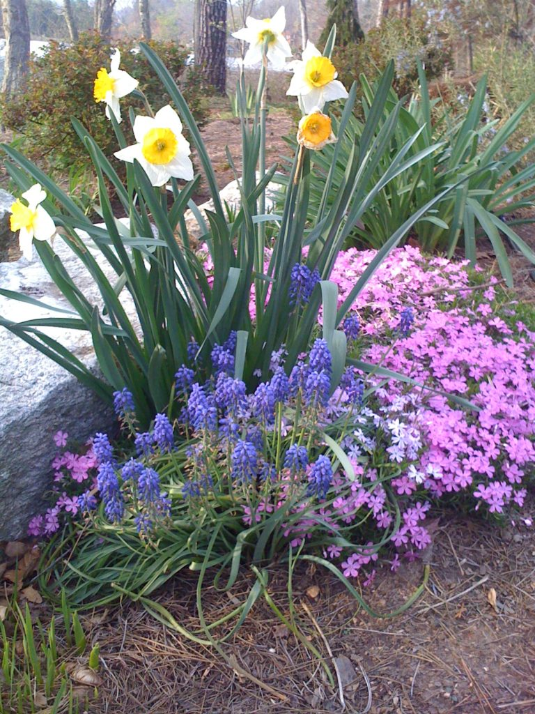 color combinations in the garden-daffodil-muscari-creeping phlox