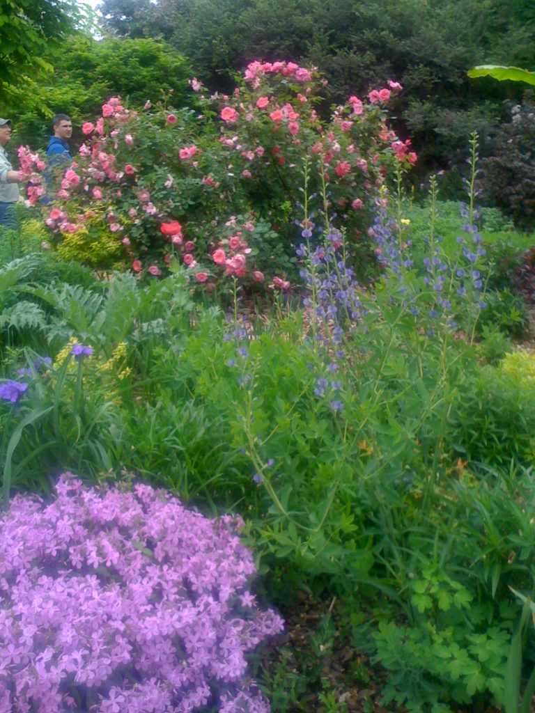 color combinations in the garden-roses-false indigo-creeping phlox-Hendersonville-landscape designer