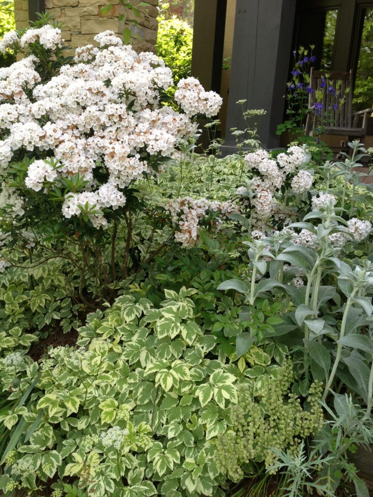 garden color combinations-Mountain laurel-bishops weed-lambs ear-spring gardening