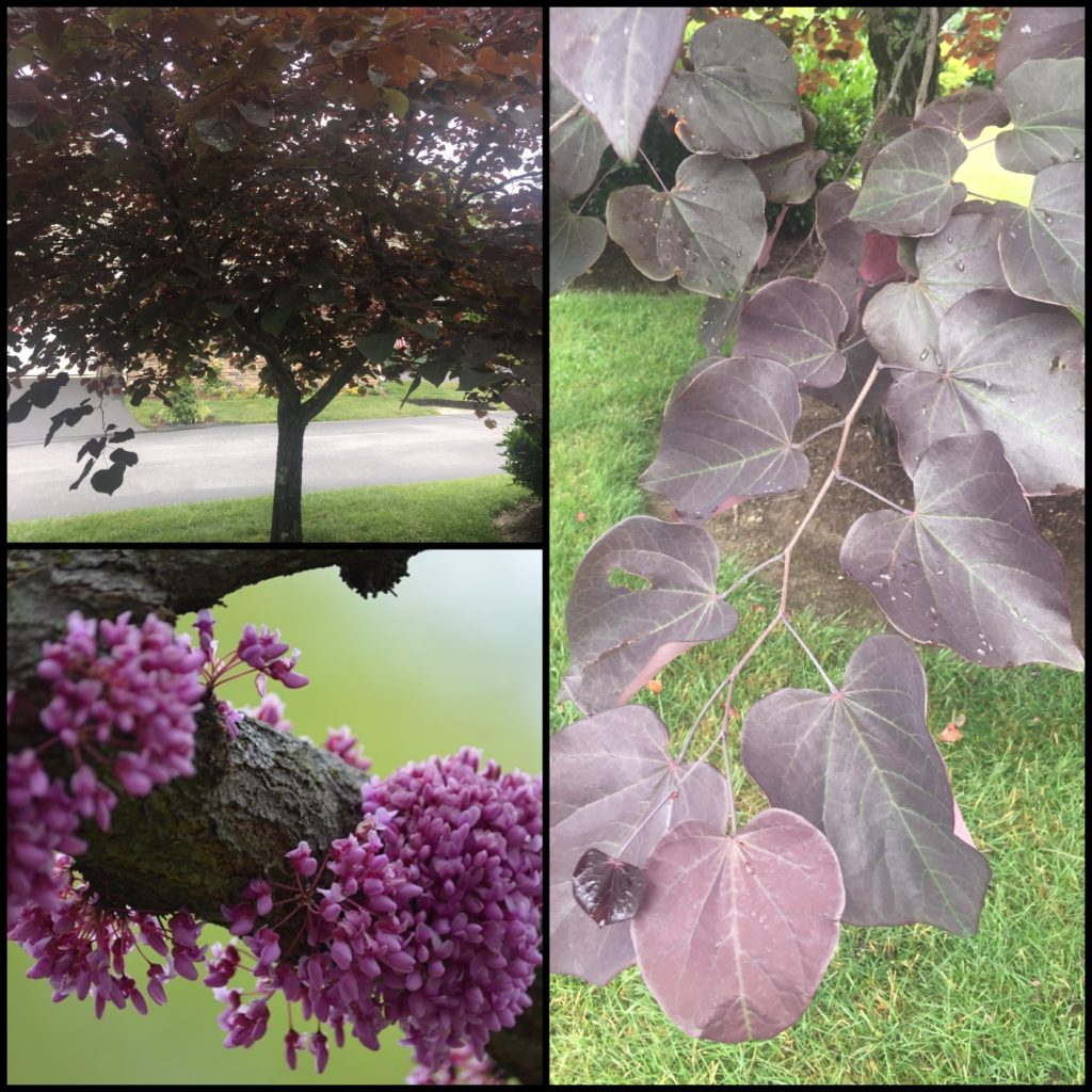 burgundy plants and trees for the landscape