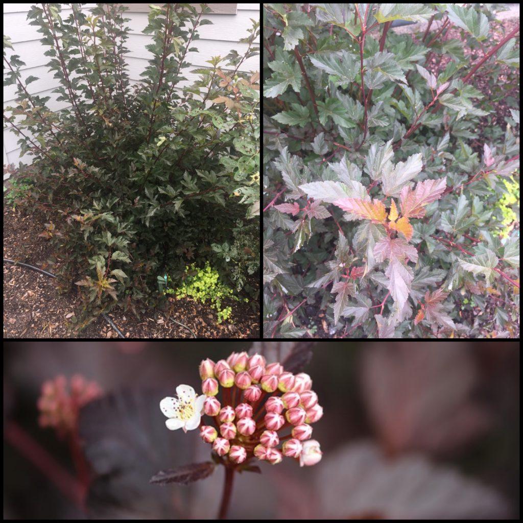 Ninebark-Summer Wine-Burgundy Plants