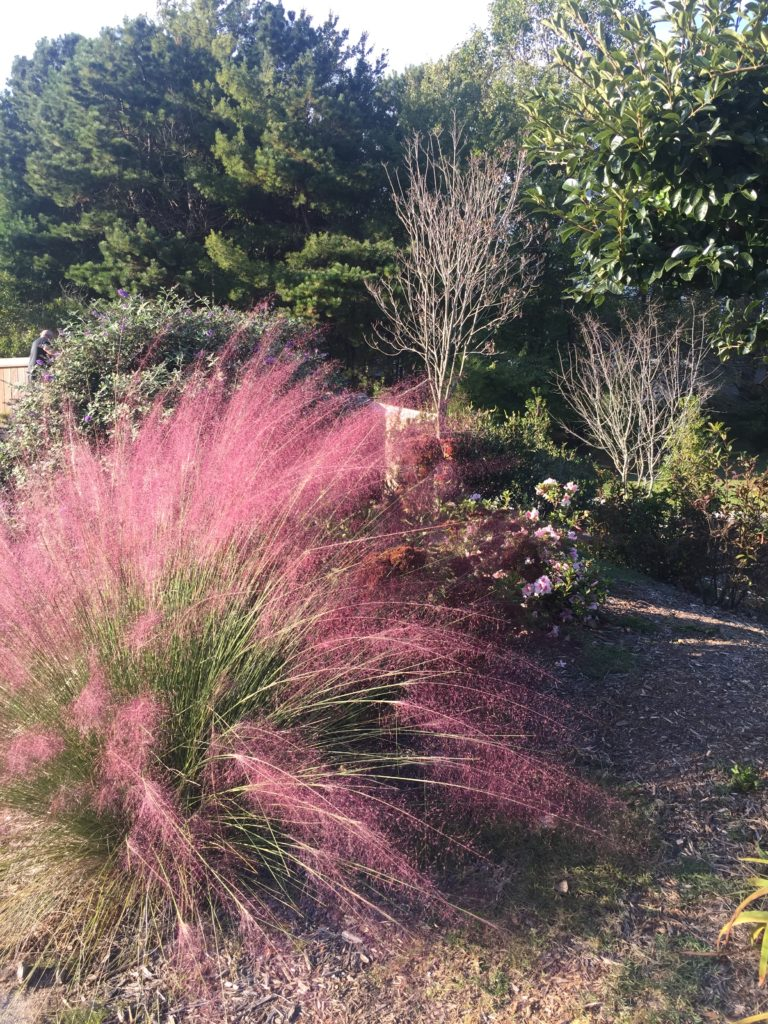 Pink Muhly grass-burgundy plants for landscape designs