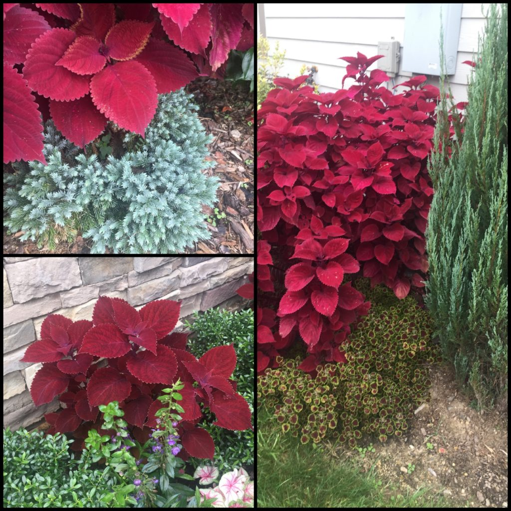 burgundy foliage for the garden border